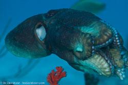 BD-150426-Maldives-8804-Octopus-cyanea.-Gray.-1849-[Big-blue-octopus].jpg